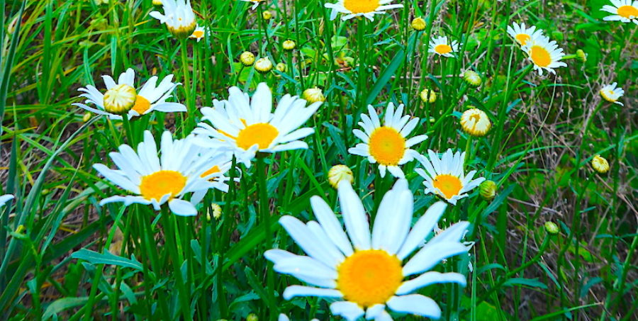 photo of some white daisies with yellow centers
